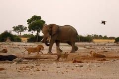 Olifant die leeuwen achtervolgen bij een waterhole Royalty-vrije Stock Fotografie