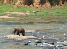 Olifant die in Maha Oya-rivier lopen Stock Afbeelding