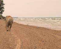 Olifant die onderaan een strand loopt Royalty-vrije Stock Afbeeldingen