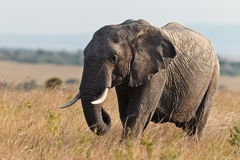 Olifant die op de savanne loopt Stock Foto