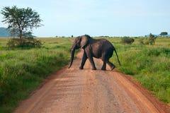 Olifant die op een weg loopt Stock Foto