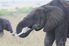 Olifant die op Serengeti eten stock fotografie
