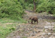 Olifant die rivierbed in Afrika kruisen Stock Foto's