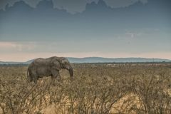 Olifant die in savanne met zonlicht lopen nafta afrika stock afbeelding