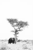 Olifant die schaduw zoekt Stock Foto's