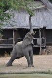 Olifant die voor tak bereiken Stock Afbeelding