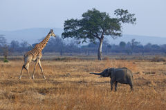 Olifant en giraf Stock Foto's