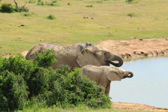 Olifant en haar kalf Stock Foto's