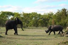 Olifant en Rinocerosslag Stock Foto