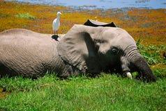 Olifant en Vogel Kenia Royalty-vrije Stock Afbeelding