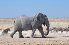 Olifant, Etosha Nationaal park, Namibië stock afbeelding