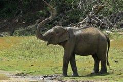 Olifant het bespuiten vuil en water op zich van zijn boomstam Stock Afbeeldingen