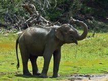 Olifant het bespuiten vuil en water op zich van zijn boomstam Stock Foto's