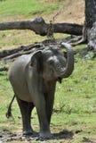 Olifant het bespuiten vuil en water op zich van zijn boomstam Royalty-vrije Stock Afbeelding