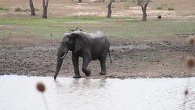 Olifant het drinken door een waterhole stock footage