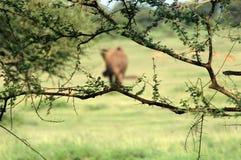 Olifant in het gras royalty-vrije stock afbeeldingen