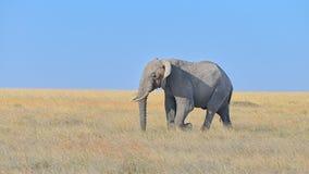 Olifant, het Nationale Park van Serengeti, Tanzania, Afrika Stock Foto