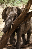 Olifant, het Nationale Park van Tarangire, Tanzania Royalty-vrije Stock Afbeelding
