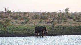 Olifant het verfrissen zich door een waterhole in de Afrikaanse savanne stock footage