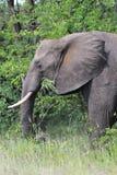 Olifant het voeden Stock Afbeeldingen