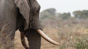 Olifant het voeden hoofdschot stock footage