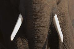 Olifant hoofdchitwan, Nepal Stock Afbeeldingen