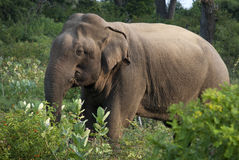 Olifant in Hout Stock Foto's