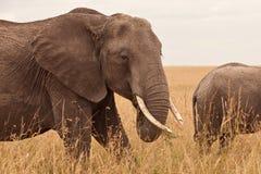 Olifant in Kenia Stock Afbeelding