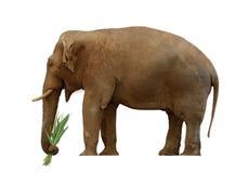 Olifant met gras Royalty-vrije Stock Afbeeldingen