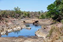 Olifant in Nationaal Park Kruger royalty-vrije stock foto's