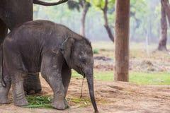 Olifant in Nepal Royalty-vrije Stock Afbeelding
