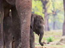 Olifant in Nepal Stock Afbeelding