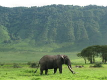 Olifant (Ngorongoro, Tanzania) Royalty-vrije Stock Foto's