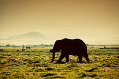 Olifant op savanne. Safari in Amboseli, Kenia, Afrika Royalty-vrije Stock Fotografie