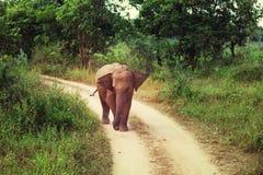 Olifant op Sri Lanka Royalty-vrije Stock Foto's
