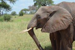Olifant in serengeti nationaal park in Tanzania Stock Foto