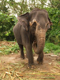 Olifant, Sri Lanka royalty-vrije stock foto's