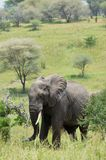 Olifant in tarangire nationaal park in Tanzania Royalty-vrije Stock Afbeeldingen
