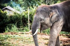 Olifant in Thailand royalty-vrije stock afbeelding