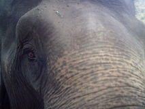 Olifant upclose Stock Foto