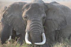 Olifant vooraan met grote slagtanden Stock Afbeelding