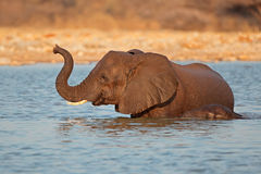 Olifant in water Stock Foto's