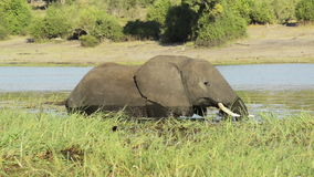 Olifant in water stock video