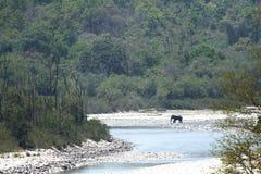 Olifant in zijn habitat dichtbij Ramganga-rivier, Jim Corbett royalty-vrije stock foto's