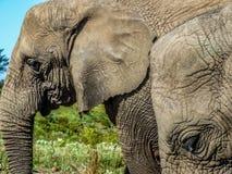 olifanten Stock Foto