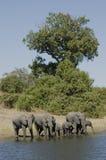 Olifanten Royalty-vrije Stock Afbeelding