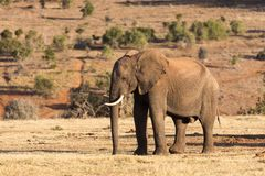 Olifanten in Addo Elephant National Park in Port Elizabeth - Zuid-Afrika royalty-vrije stock fotografie