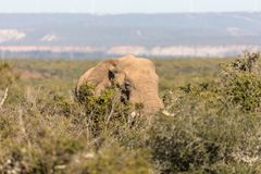 Olifanten in Addo Elephant National Park in Port Elizabeth - Zuid-Afrika royalty-vrije stock afbeelding
