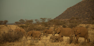 Olifanten in Afrika Royalty-vrije Stock Afbeeldingen