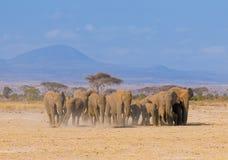 Olifanten in amboseli, Kenia Royalty-vrije Stock Foto's